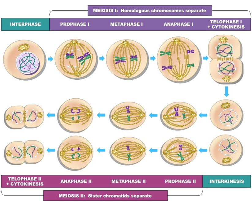 Stages Of Meiosis Bioninja
