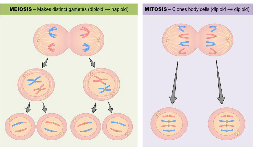 compare and contrast the processes of mitosis and meiosis essay Comparison of mitosis and meiosis is a common task for almost all biology   meiosis, on the other hand is also the cell division process, but of a different type.