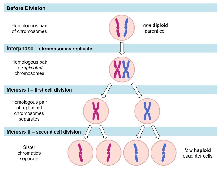 Related Keywords & Suggestions for meiotic division