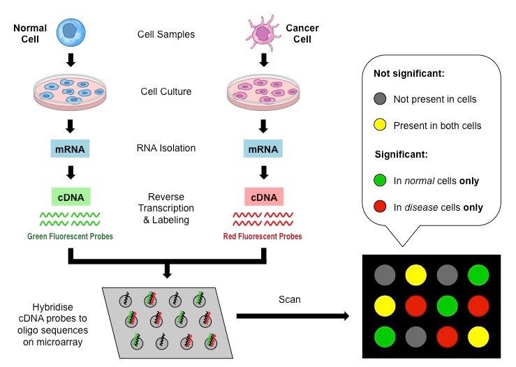 DNA Microarrays | BioNinja