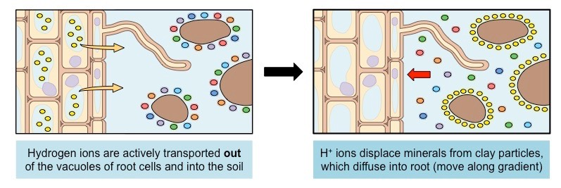 how is water absorbed by roots