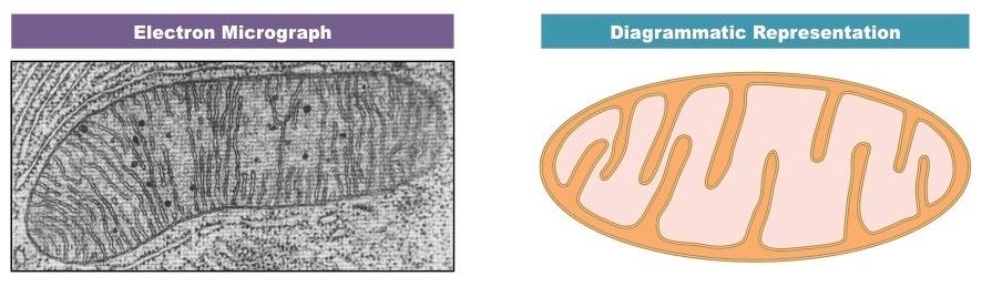 Mitochondria Bioninja
