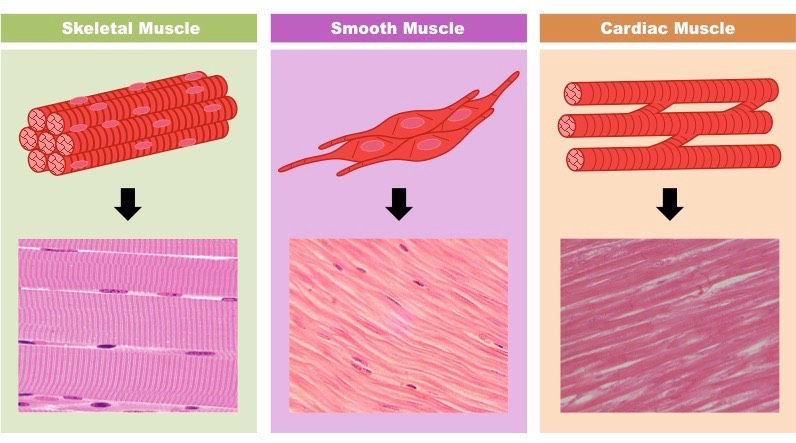 Types of Muscles | Bio...