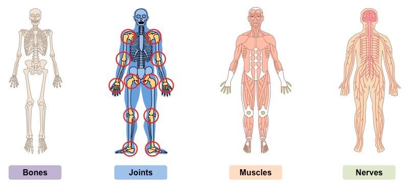 Skeletal Framework | BioNinja