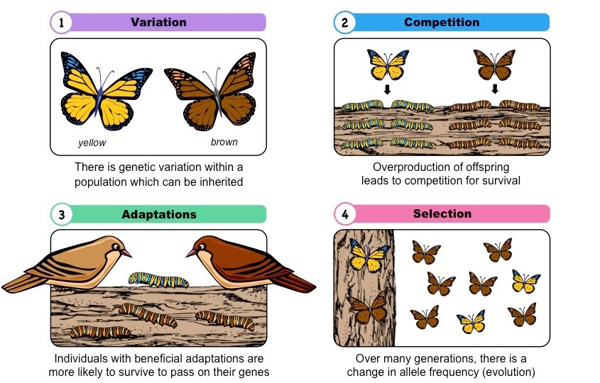 an analysis of charles darwins theories of natural selection and the survival of the fittest The phrase 'survival of the fittest' seems to play a key role in the theory of evolution the theory of evolution by natural selection rests on three principles: 1 (ever since darwin: reflections in natural history.