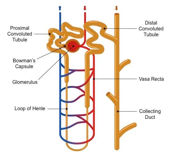 Labeled Diagram Of Nephron Diy Wiring Diagrams