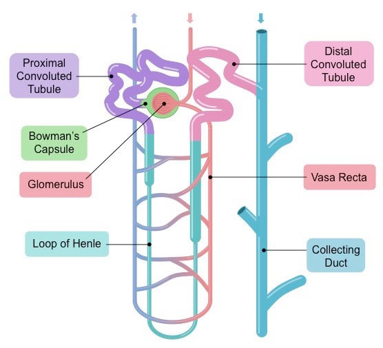 Nephrons bioninja my image 1 my image 2 click on the image to show colour coding nephron function ccuart Choice Image