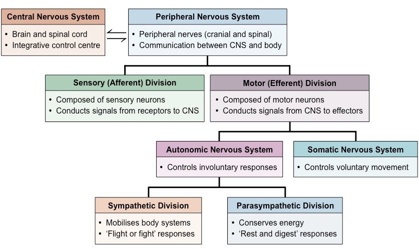 Image result for divisions of the nervous system