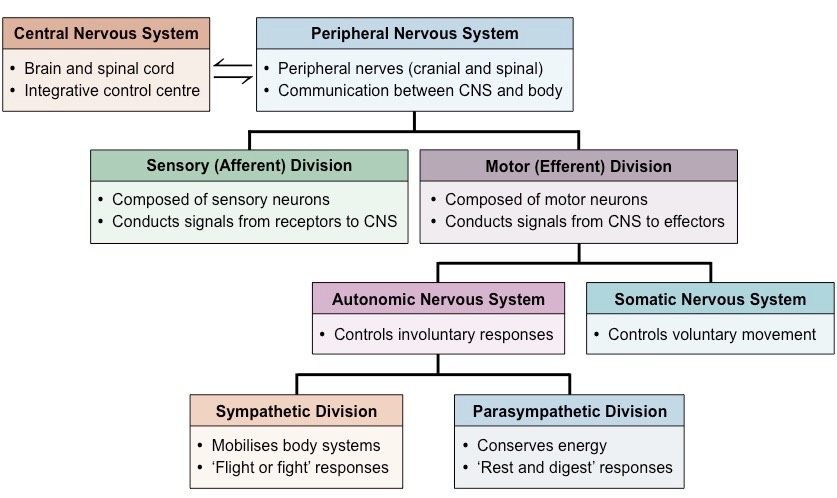 Sensory peripheral nervous system division diagram simple autonomic control bioninja rh ib bioninja com au central and peripheral nervous system peripheral nervous system diagram unlabeled ccuart Image collections