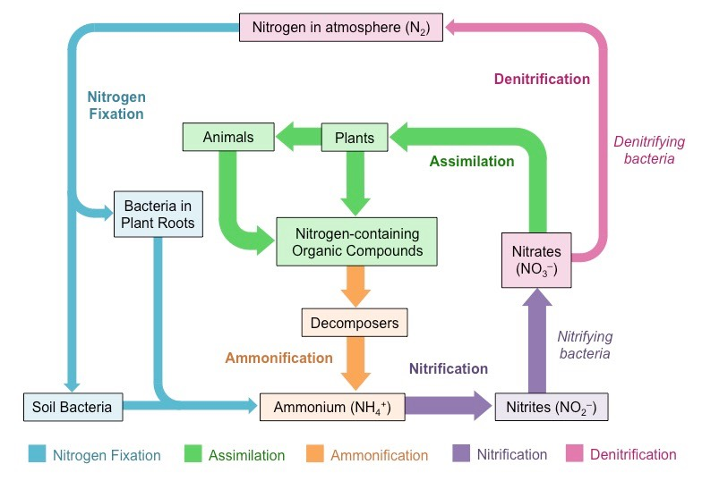 Nitrogen Cycle – Nitrogen Cycle Worksheet Answers