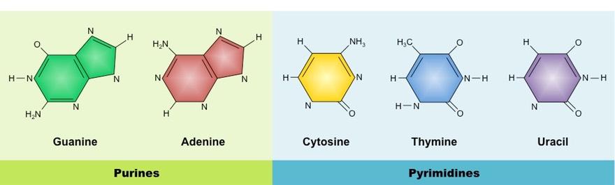 nitrogenous bases bioninja