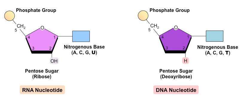 nucleotide rna vs dna
