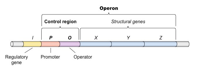 Operons Bioninja