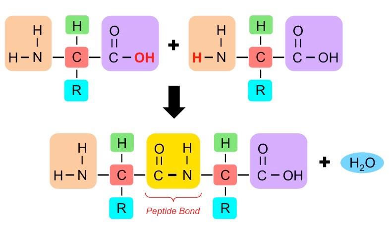 Peptide Bonds Bioninja