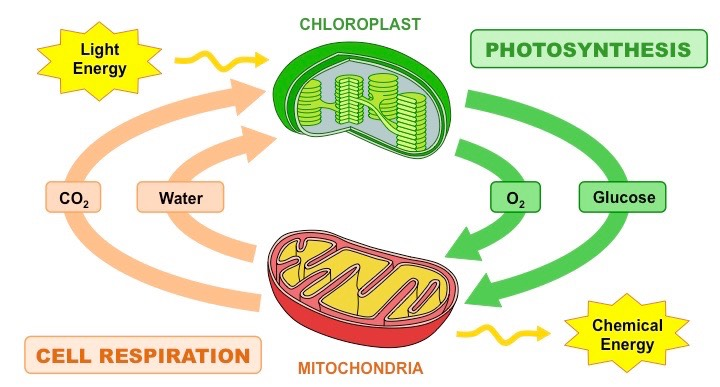 Photosynthesis vs respiration bioninja photosynthesis and cell respiration ccuart Image collections