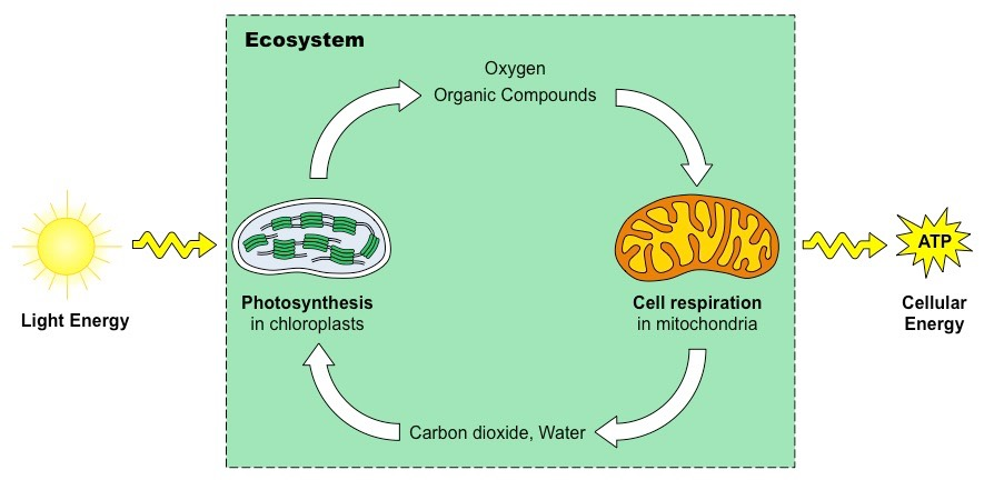 photosynthesis vs cell respiration