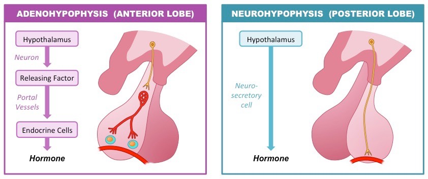 Pituitary Gland | BioNinja