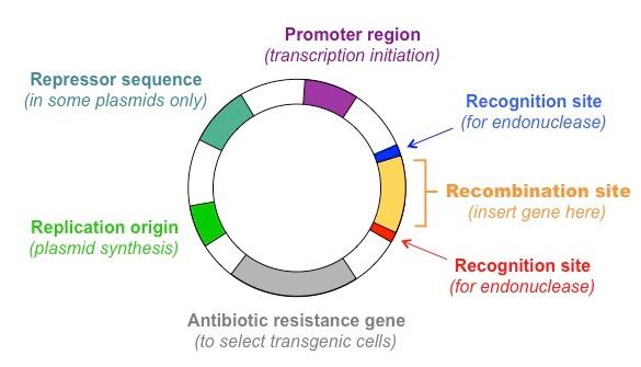 plasmid vector