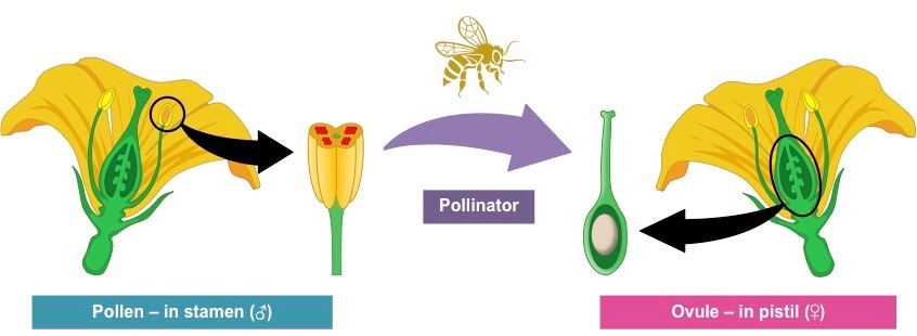Plant Reproduction Bioninja