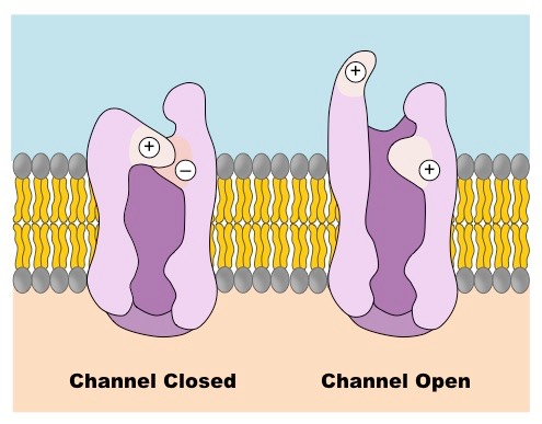 potassium channel