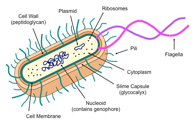 prokaryotic cells bioninjaDiagram Of Flagella #11