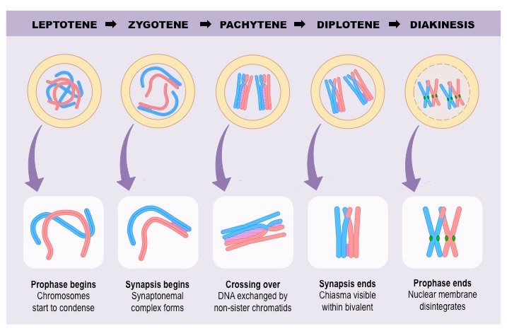 Stages of Prophase | BioNinja