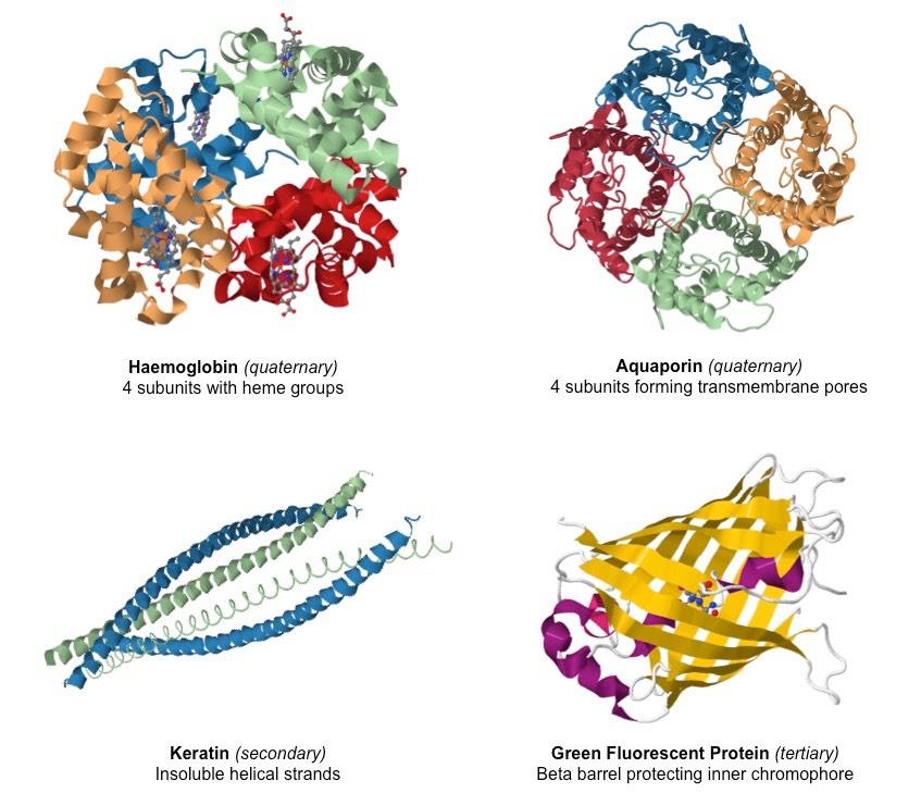 Hotmen  Biology Keratin Protein Structure