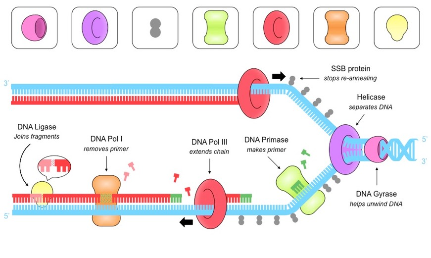 Dna Replication Hl Bioninja The negative refers to the directionality of the supercoil, not the electrical charge of the molecule. dna replication hl bioninja