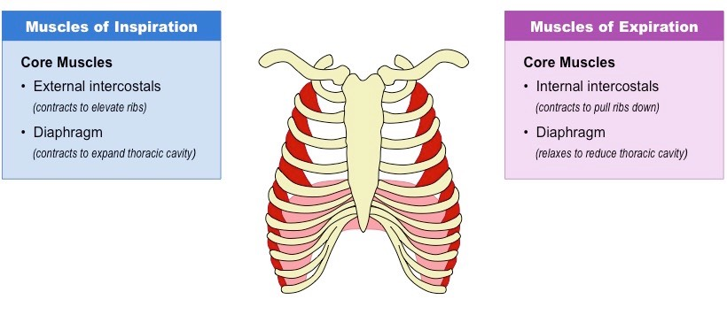 click on the diagram to show / hide accessory muscles