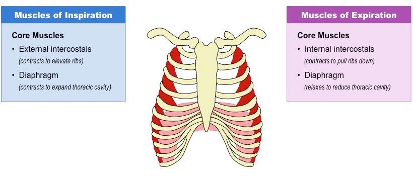 Respiratory Muscles Bioninja