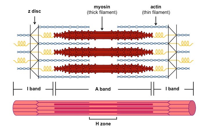 Image result for structure of sarcomere