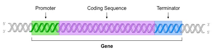 sections of a gene