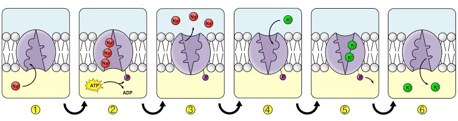 Active Transport Bioninja