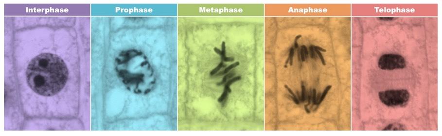 Mitotic Index   BioNinja