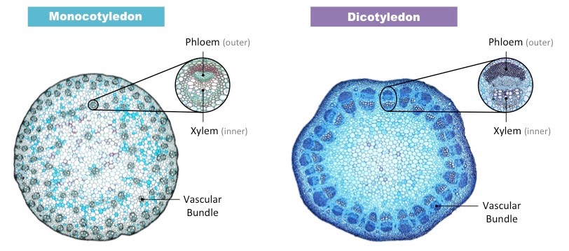 Phloem structure bioninja click on the image to display false colour representations of xylem red phloem blue and vascular bundles orange ccuart Images