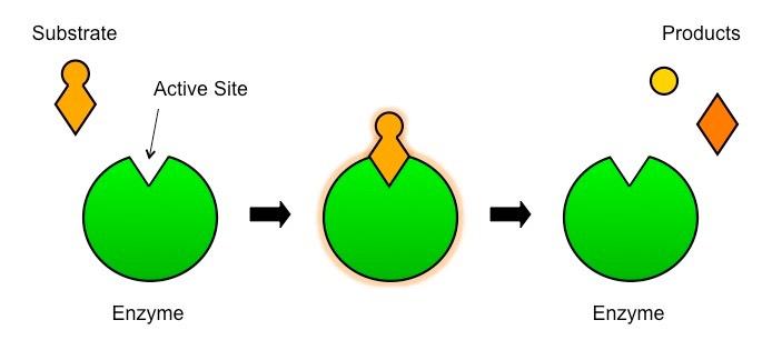 Enzyme         Substrate      BioNinja