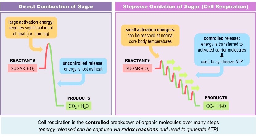 sugar breakdown