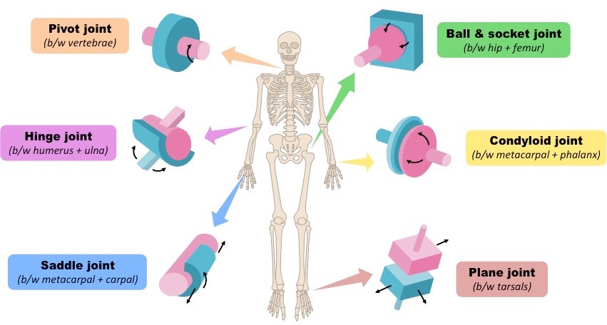 joints bioninja rh ib bioninja com au Synovial Joint Diagram Synovial Joint Diagram