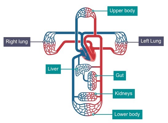 systemic circulation