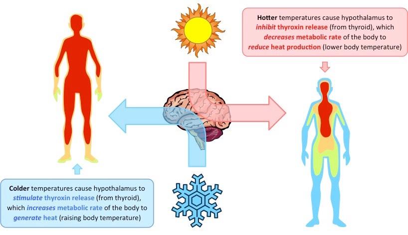 Thyroxin Bioninja