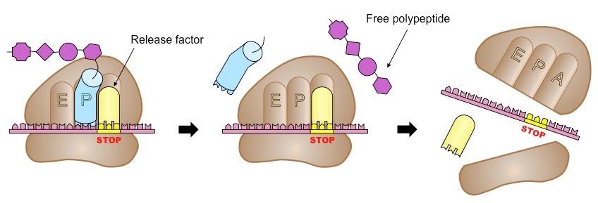 protein biosynthesis in prokaryotes