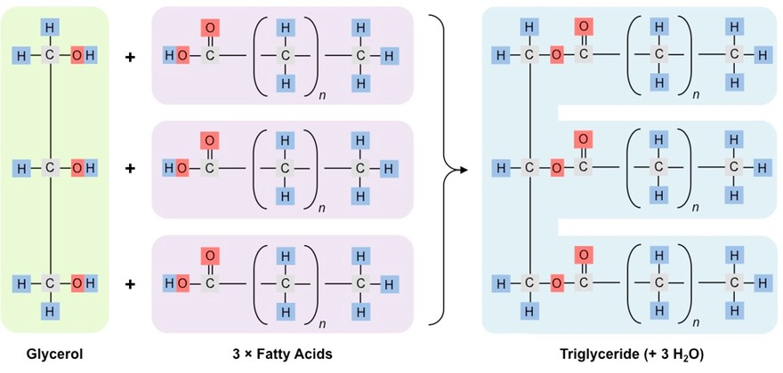 Triglycerides Bioninja