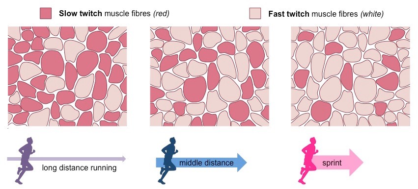slow oxidative muscle fibres Slow twitch, also known as type i - oxidative fast twitch, also known as type ii -   each type of muscle fibre has different characteristics which are shown in the.