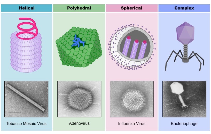 Virus Classification | BioNinja