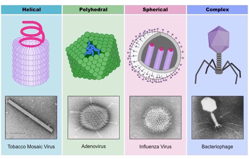 Výsledok vyhľadávania obrázkov pre dopyt viruses structure
