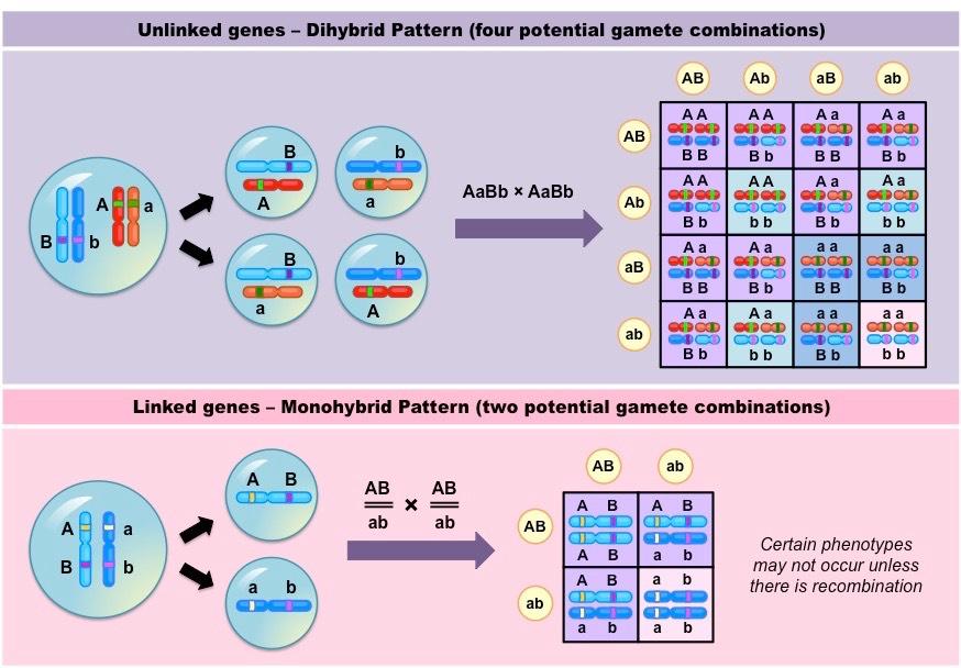 Linked Genes | BioNinja on